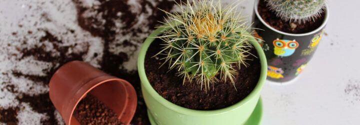 В какой грунт сажать кактусы 781