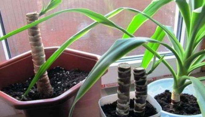 Юкка: секреты размножения растения
