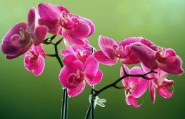 Как нарастить корни у орхидеи фаленопсис после их утраты
