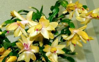 Цветок декабрист или шлюмбергера: основы полноценного ухода в домашних условиях.