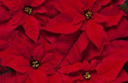 Цветок с красными листьями: виды растений, особенности ухода