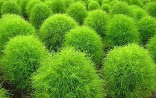 Полёт фантазии — выращиваем декоративные кохии из семян