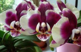 Янтарная кислота для орхидей — влияние и применение