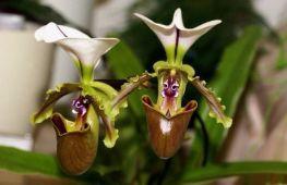 Орхидея башмачок: как выбрать и вырастить в домашних условиях