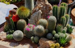Виды кактусов: сорта, которые должны быть в коллекции