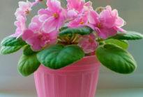 Цветок похожий на комнатную фиалку: как выглядит и в чем его особенности