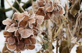 Особенности подготовки гортензии к зиме