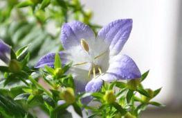 Растение «Жених и невеста»: символ любви и счастья в доме