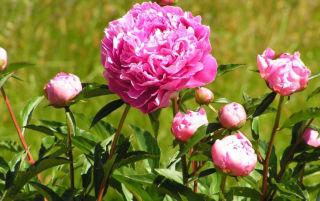 Почему в вашем палисаднике не цветут пионы: причины проблемы и методы ее устранения