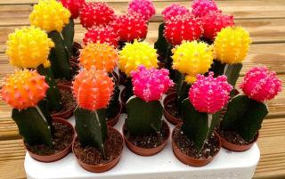 Цветные кактусы: яркое украшение для вашего дома