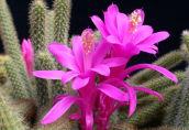 Змеевидный кактус или апорокактус плетевидный: особенности ухода в домашних условиях