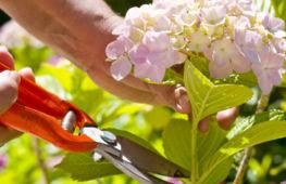 Обрезка гортензии весной: основные правила проведения манипуляции для метельчатых и древовидных сортов