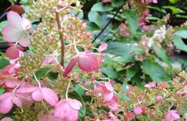 Гортензия конфетти метельчатая – куст, который украсит любой сад