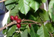 Как ухаживать за кофейным деревом в домашних условиях и получить урожай кофейных зерен?