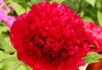 Пион «Ред Чарм»: что известно об очаровательно ярком растении