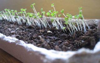 Как выращивать руколу из семян круглый год?