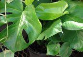 Главные ошибки цветоводов: почему желтеют листья у монстеры и что делать