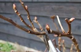 Как проводится обрезка пионов на зиму: особенности для древовидных и травянистых сортов