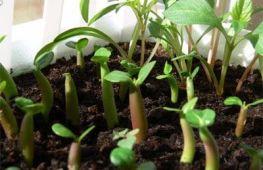 Адениум: посадка, выращивание, уход в домашних условиях