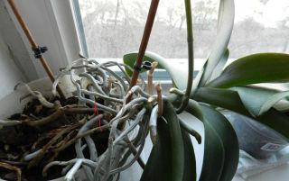 Как легко и с минимальными рисками омолодить орхидею своими руками