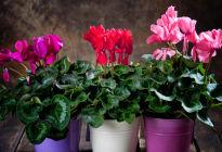 Как размножить цикламен в домашних условиях: советы цветоводов