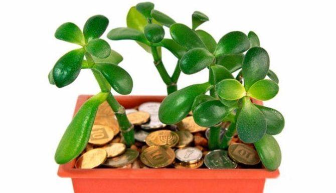 Полезные советы, как размножить денежное дерево в домашних условиях