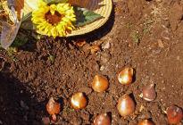 Как правильно сажать тюльпаны в открытый грунт: все от подготовки до посадки луковицы