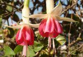 Все что необходимо знать о выращивании фуксии из семян в домашних условиях