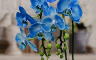 Крашеная блондинка: что надо знать о синей орхидеи