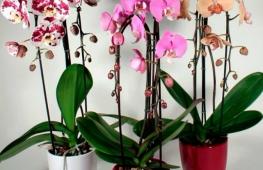 Чем протирать листья у комнатной орхидеи для блеска?