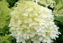 Метельчатая гортензия «Лаймлайт»: пышно цветущий куст станет украшением любого участка