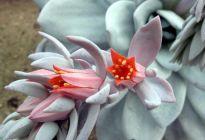 Эхеверия или «каменный цветок»: основные приемы ухода за растением