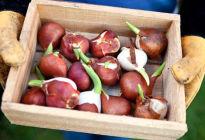 Как правильно хранить луковицы тюльпанов летом и зимой: полезные советы