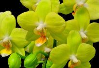 Жёлтая орхидея фаленопсис: лучшие сорта по мнению цветоводов