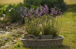 Секреты выращивания лаванды дома в горшке