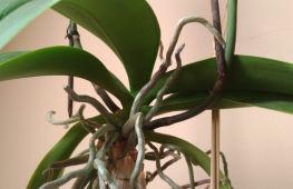 Воздушные корни у орхидеи: что делать, если их слишком много
