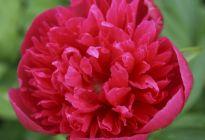 Пион «Розеа плена» – за что этот сорт любят цветоводы