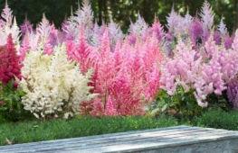 Астильба: посадка растения в открытый грунт и последующий уход за ним