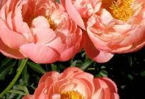 Молочноцветковый пион «Сoral sunset»: описание сорта, его характеристики, преимущества и недостатки, отзывы