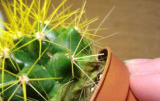 Что делать, если кактус  гниет снизу: причины проблемы и методы ее устранения