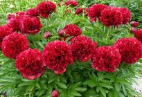 Грациозный пион «Ред Грейс»: что должен знать цветовод