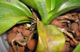 Распространенные болезни орхидей: как обнаружить и лечить в домашних условиях