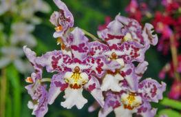 Камбрия – описание орхидеи, основные правила ухода за растением в домашних условиях