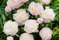 Чем знаменит пион «Ширли Темпл» и за что его ценят цветоводы всего мира