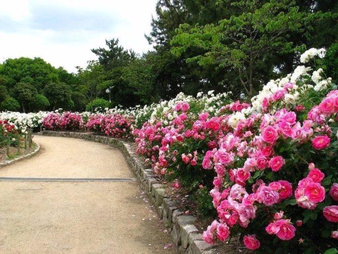 Бордюры из роз