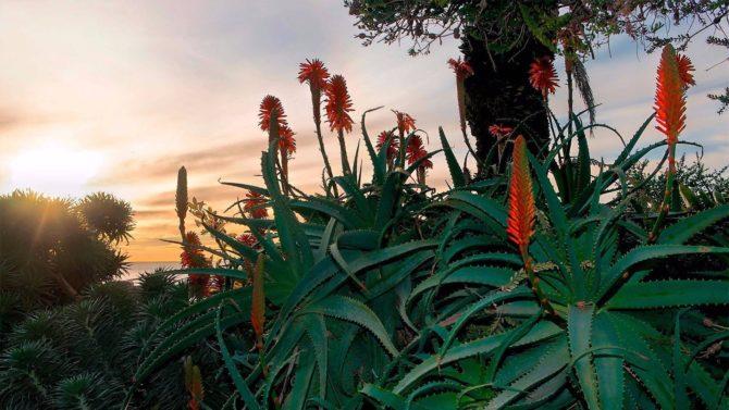 Цветок алоэ в природе