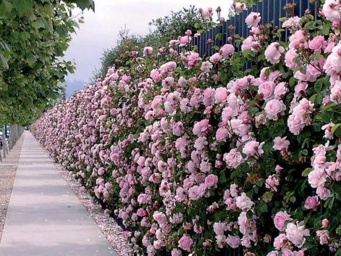 Изгороди из роз