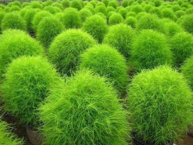Кохия веничная грин форест выращивание из семян — kochia scoparia