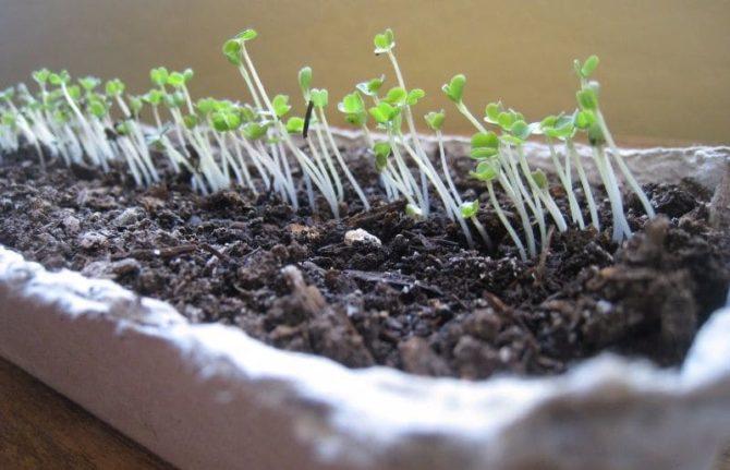 Рукола из семян