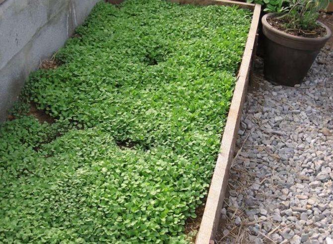Рукола выращивание в теплице